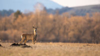 Roe deer buck standing with leg up on field in spring with copy space