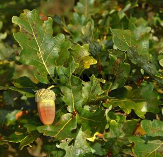 Stil-Eeiche, Quercus robur, oak tree