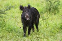 Curious wild boar facing camera on green meadow in spring nature
