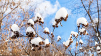 panoramic view of snow-covered capitula of burdock