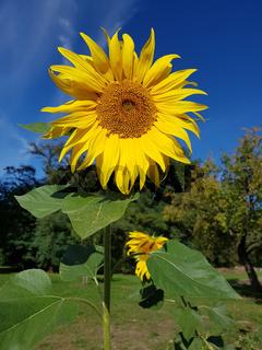 Nahaufnahme einer Sonnenblume