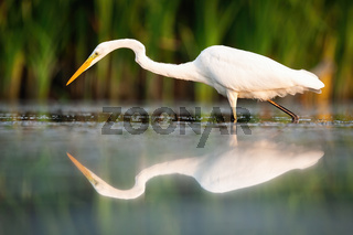 Great egret walking in wetland in summertime nature