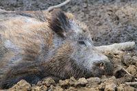 Boar resting in the mud close