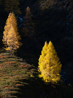 Autumn colorful larch trees in sunlight on background of dark hills in shadow. Alps mountain highlands view from hiking path.