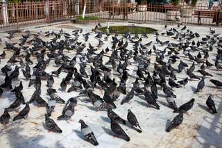 Pigeon Crowd