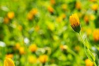 Beautiful Yellow Spring Flower Meadow, Green Grass