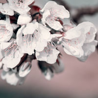 Close up of Flowering cherry isolated on blur background.