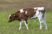 Frisian red-and-white Dutch bull calf