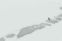 A lone duck walks across a frozen pond and leaves footprints. The concept of loneliness and abandonment