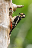 Great spotted woodpecker climbing a tree with nest hole a feeding little chick