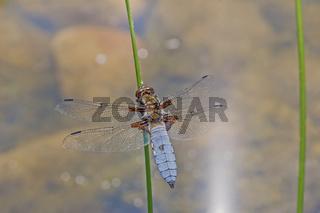 Plattbauch-Libelle  'Libellula depressa'