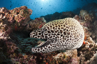 Grosse Netzmuraene, Malediven