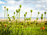 Poppy capsulas in spring on lake neusiedlersee