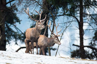 Majestic red deer standing on snow in winter nature