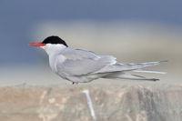 Arctic tern (Sterna paradisaea) Sweden