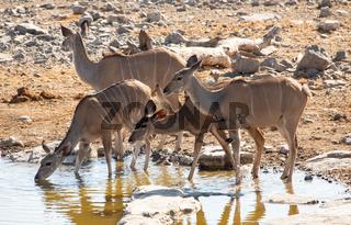 Kudu im Naturreservat Etosha National Park Namibia Südafrika