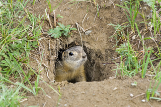 A curious ground squirrel looks out of the hole.