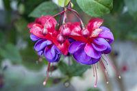 Nahaufnahme von rot violett blühenden Fuchsien Dark Eye