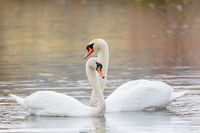 Couple Of Swans Forming Heart on pond