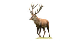 Red deer stag with large antlers walking on meadow isolated on white background