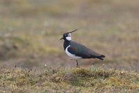 Northern lapwing (Vanellus vanellus) Oeland Sweden