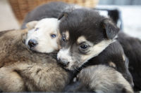 Cute fluffy mongrel puppies. White and black little dogs.