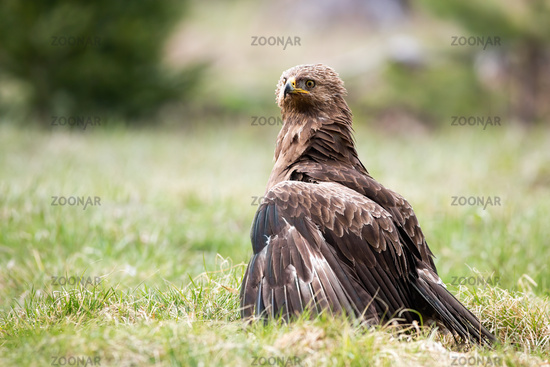 Proud lesser spotted eagle protecting territory or prey on meadow in nature.