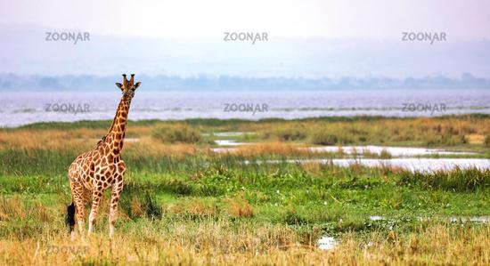 Rothschild-Giraffe am Albertsee im Murchison Falls Nationalpark Uganda (Giraffa camelopardalis rothschildi) | Ugandan giraffe at the Lake Albert, Murchison Falls National Park Uganda (Giraffa camelopardalis rothschildi)