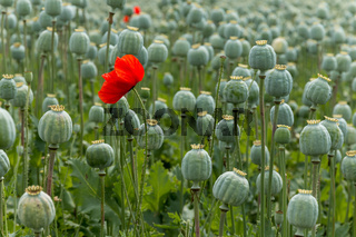 Papaver field single red poppy flower. Only focused on flower.