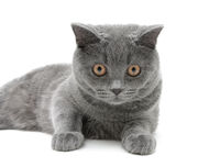 kitten breed scottish-straight close-up - white background.