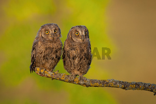 Surprised eurasian scops owl young chicks perched in spring nature at sunrise