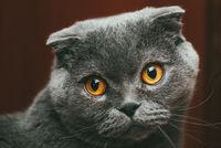 Scottish fold gray cat with orange eyes sits alone. Stay at home coronavirus covid-19 quarantine concept