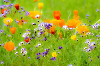 Flowering Summer Medow