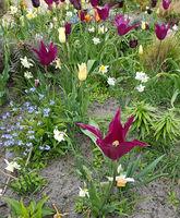Tulpenbluete, Tulpe