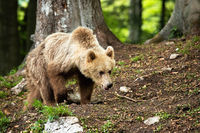 Young brown bear walking in forest in summer nature.