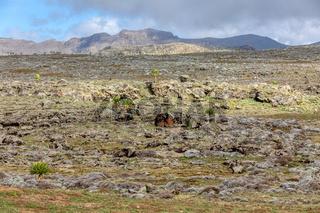 giant Lobelia plant in Bale Mountain, Ethiopia