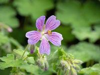 Nahaufnahme eines blühenden Storchschnabels (Geranium)