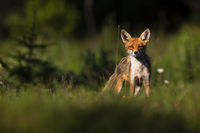 Proud red fox standing on meadow in summer nature.
