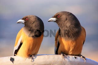 Rufous Treepies, Pushkar, Rajasthan, India