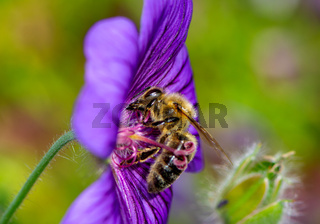Bee collecting nectar on a flower blossom