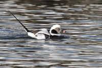 male long-tailed duck floating on the water winter day
