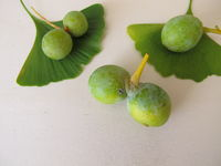 Ginkgosamen mit Samenschale, Ginkgo biloba