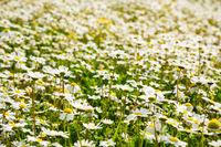 Sunny White Daisy Flower Meadow, Green Grass, Spring Season