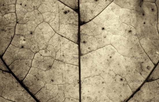 monochrome sepia macro close up of an autumn leaf showing cells and veins