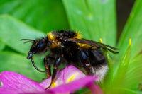 Macro of aNorthern white-tailed bumblebee