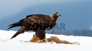 Golden eagle standing on snow in wintertime nature