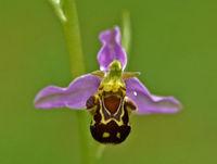 Bienen-Ragwurz, Ophrys apifera, bee orchid