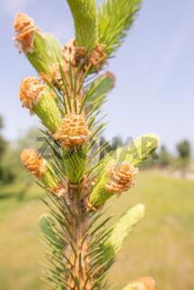 Pine tree female flower