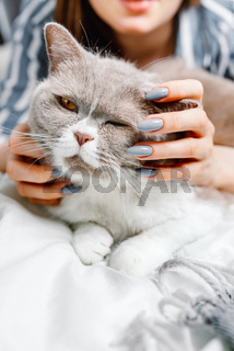 Close-up of british breed cat being pet by a woman on a bed, selective focus