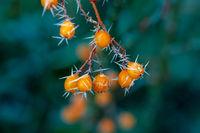 Frosted orange rowan berries